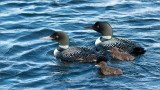 Loons and Chicks - Photo by Maria Barlow