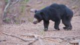 Sloth Bear - India