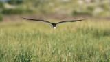 Black Skimmer Head on in Flight