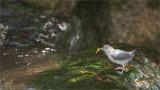 American Dipper - in Costa Rica