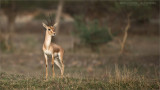 Indian gazelle aka Chinkara
