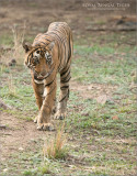 Royal Bengal Tiger - His Name is Pacman