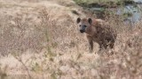 Spotted Hyena in Tanzania