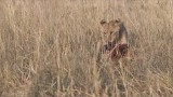Lion with Breakfast - Tanzania