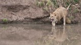 Young Male Lion enters the Water