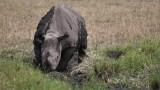 Black Rhino in the Mud