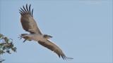 Juvenile Crowned Eagle in Tanzania