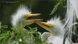 Great egret Chicks in Florida