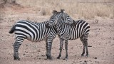 Zebra defense crossover