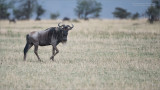 Wildebeest Posing