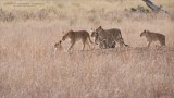 Lions on the Move