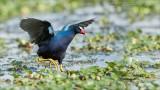 Purple Gallinule Chasing