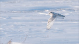 Snowy Owl in Flight - Photo Tours to Wild Owls - never baited.