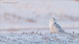 Snowy Owl enjoys the Hunt