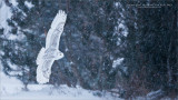 Snow Owl Hunting for Real Prey