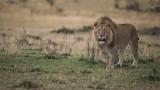 Male Lion Hunting in Tanzania
