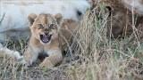 Lion Cub Snarl