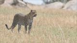 Leopard Hunting - Tanzania