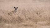 Spotted Hyena - Tanzania