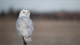 Snowy Owl - D850
