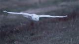 Snowy owl in Flight 10000 ISO