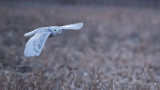 Snowy Owl at 25600 iso