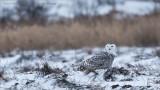 Snowy Owl Hunting the Frozen Fields