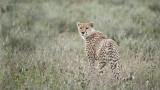Cheetah on Guard - Tanzania