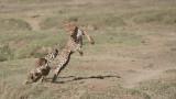 Cheetah Siblings at Play 2
