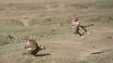 Cheetah Siblings at Play 4