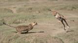 Cheetah Siblings at Play 5