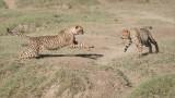 Cheetah Siblings at Play 6