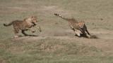 Cheetah Siblings at Play 7