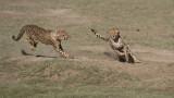 Cheetah Siblings at Play 8