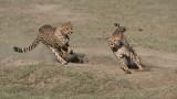 Cheetah Siblings at Play 9