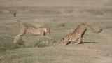Cheetah Siblings at Play 12