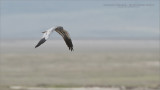 Montagu's Harrier in the Crater