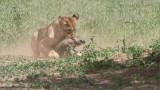 RAY_3103 Lion Kill 1200 web  .jpg