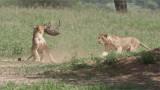RAY_3104 Lion Kill 1200 web  .jpg
