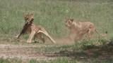 RAY_3107 Lion Kill 1200 web .jpg