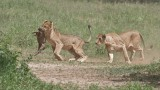 RAY_3109 Lion Kill 1200 web   .jpg