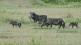 Warthog Family in Tanzania