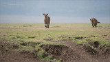 Hyenas on the Move for Water