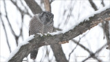 Northern Hawk Owl with Lunch - Photo by Maria Barlow
