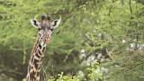 Giraffe in the Trees
