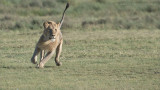 Male Lion on the Run