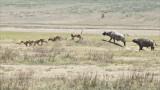 Cape Buffalo Chasing Four Lions