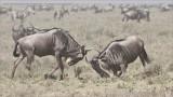 Blue Wildebeest gnu Sparring - Ngorongoro Crater