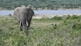 East African Elephant