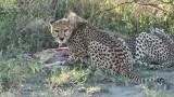 Mother Cheetah on a Kill